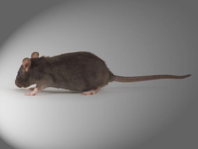 För att få bort råttorna används numera främst olika sorters fällor.