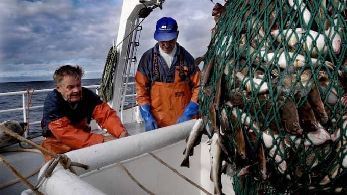I dag är tre fjärdedelar av de viktigaste fiskeområdena i Östersjön överexploaterade eller fullt utnyttjade. Foto: DANIEL NILSSON / SVD / SCANPIX / CODE 30422 SVD