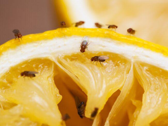 Bananfluga, Drosophila melanogaste, ser svart ut, men är i själva verket brungul. Det finns faktiskt effektiva sätt att bli av med insekten, som älskar din gamla frukt och dina sopor.
