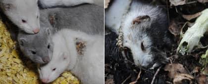 Såriga och döda minkar visas upp på de smygfilmade bilderna. Foto: sveketmotminkarna.se