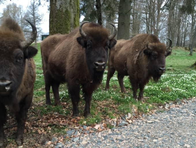 """I flocken finns i dag fyra visenter. """"Tre kor och en tjur. Alla korna väntar kalvar när som helst så snart blir de fler"""", berättar Anna Blinkowski. Foto: SKÅNES DJURPARK"""