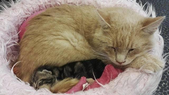 Katten Honey blev fostermamma åt kattungar vars mamma inte kunde ta hand om dem själv. Foto: Privat