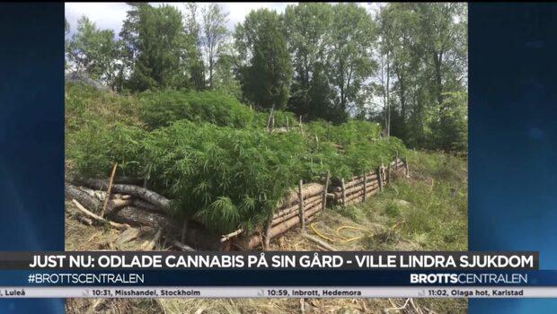 Enorm cannabisodling hittades på liten gård
