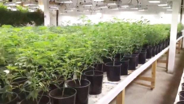 Mammans hemliga företag avslöjat - polisen hittade 24 000 marijuanaplantor