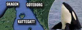 """Späckhuggare på väg  in i Kattegatt: """"Sällsynt"""""""