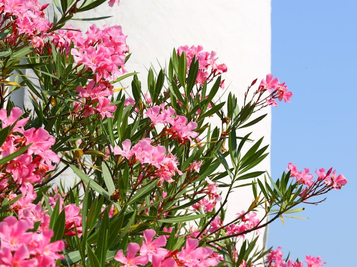 giftig blomma sverige