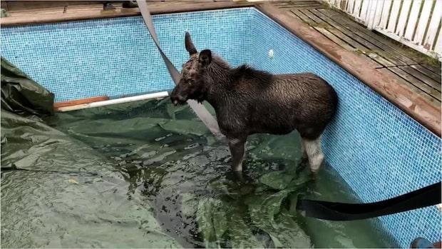 Älgkalv ramlade ner i pool – kunde inte ta sig upp