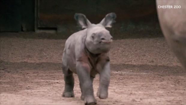 Se den bedårande lilla noshörningsungen på Chester Zoo