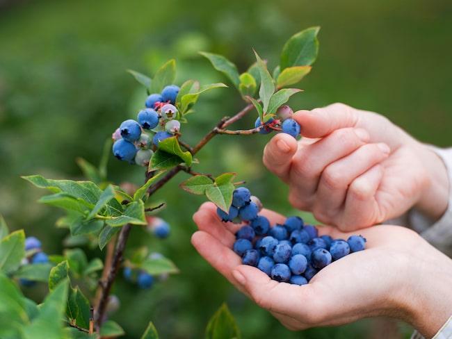Blåbär är ett av de mest hälsosamma bären i världen.