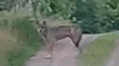 Se filmen: Här är vargen på besök på gården