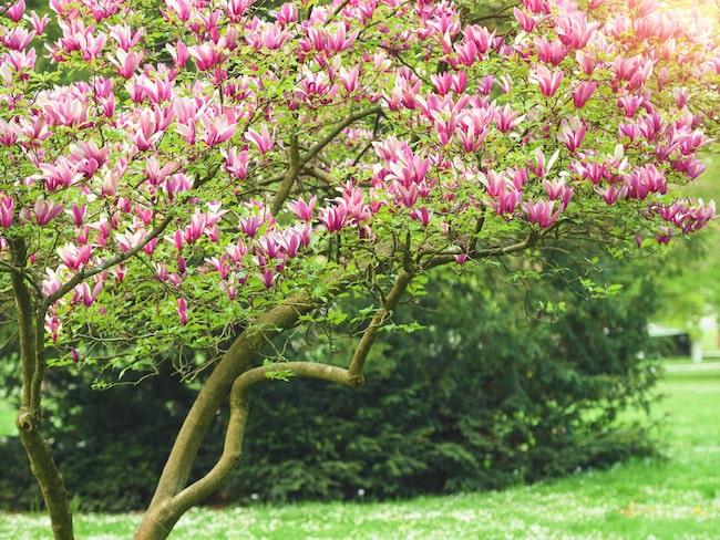 Har du en gång planterat en magnolia i trädgården har du den för evigt eftersom den utvecklas, växer och blommar mer för varje år som går.