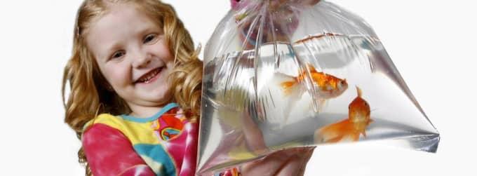 Guldfiskars minne har fått ett oförtjänt dåligt rykte. Foto: Cornelia Nordström