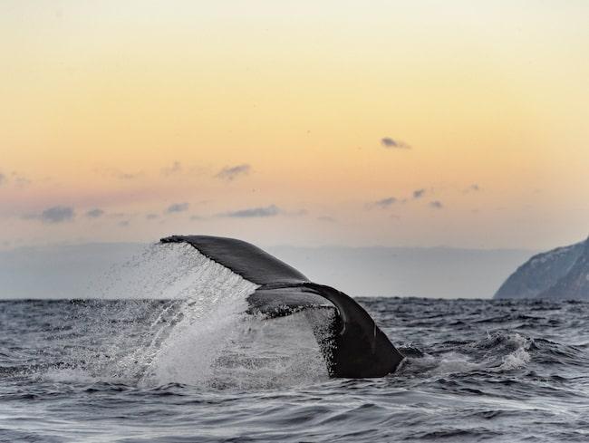 På valsafari i de norska fjordarna har man chansen att se och simma med späckhuggare och knölvalar.
