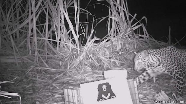 Plötsligt fångar mörkerkameran rovdjuret utanför byn