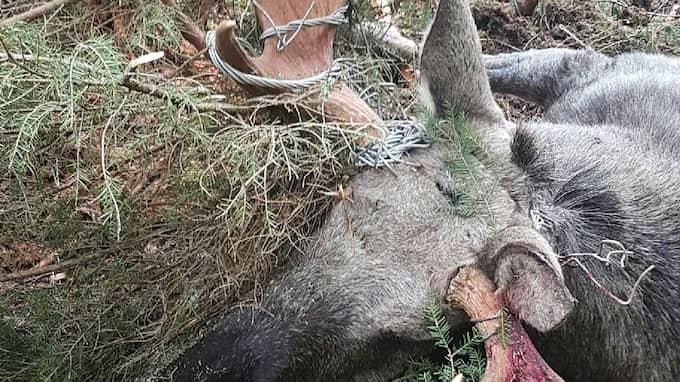 Älgen hade fastnat med hornen i vajrarna som lämnats kvar i skogen. Foto: Jerker Johansson