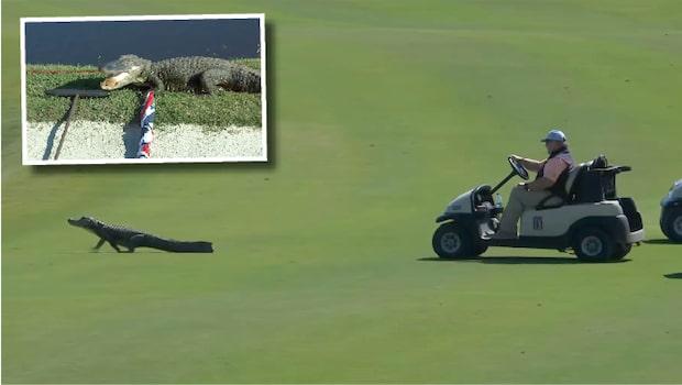 Krokodilen jagas bort med golfbil