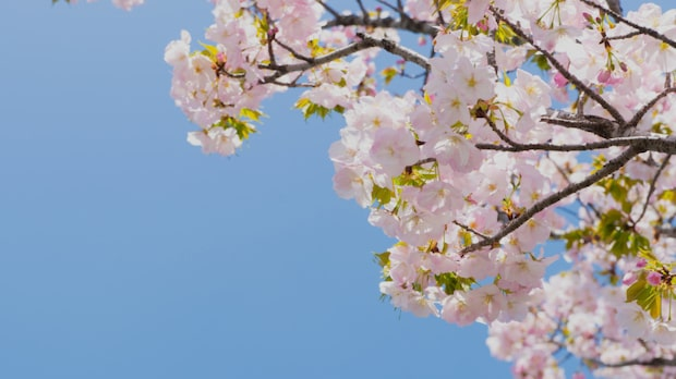Tokyos populära sevärdhet är i full blom