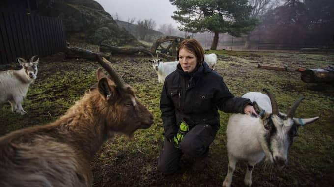 """Ledsna. Personalen i Slottsskogen sörjer den lilla killingen som dog den 14 december. """"Djuren är som familjemedlemmar"""" berättade Anna Schönström, djuransvarig i Slottsskogen, dagen efter att killingen avlivades. Foto: Henrik Jansson"""