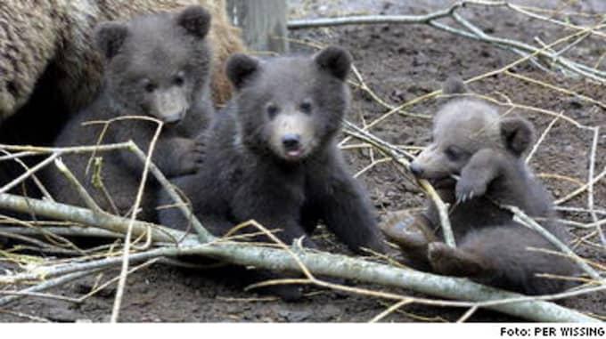 Favoritmat. En del djurparker slaktar sina björnar. Enligt Staffan Åkeby, chef för Skånes djurpark, är björnkött eftertraktat bland vissa gourmetrestauranger.