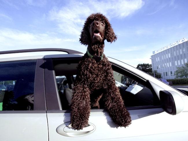 Koka inte dina vänner! Lämna inte hunden i den varma, parkerade bilen med stängda rutor.