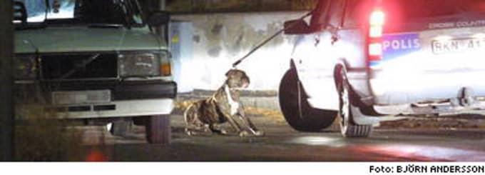 Fångad till slut - polisens hundpatrull lyckades fånga den ilskna kamphunden.