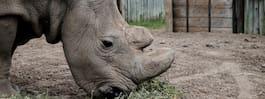 Den sista nordliga vita noshörningshanen har dött