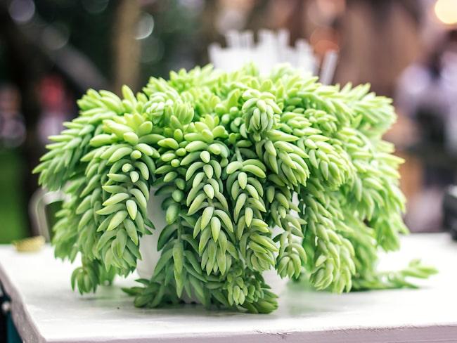 """Den här växten är mest känd som """"apsvansen"""". Växtens grenar kan bli upp till 61 centimeter långa och har blågröna blad."""