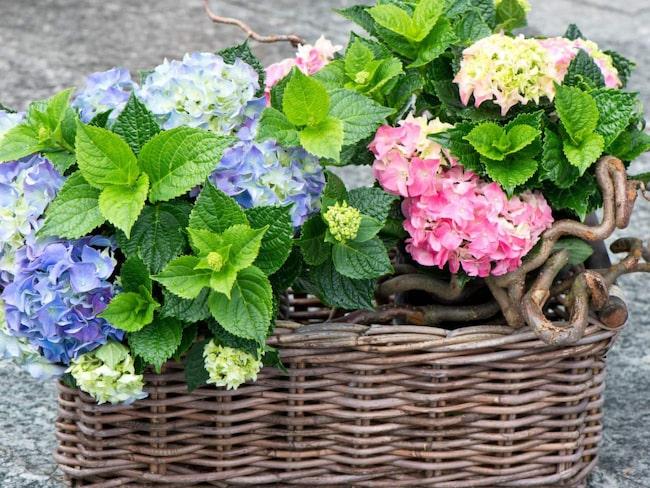 <span>Hortensia var förr en given krukväxt på mors dag. Nu finns den redan tidigt på våren till glädje för alla.</span>