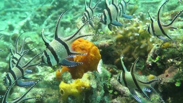 Fiskarna i Stilla havet ser inte faran