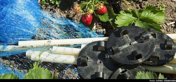 Bygg ett skyddöver jordgubbarna Trädgården gammal Expressen Leva& bo