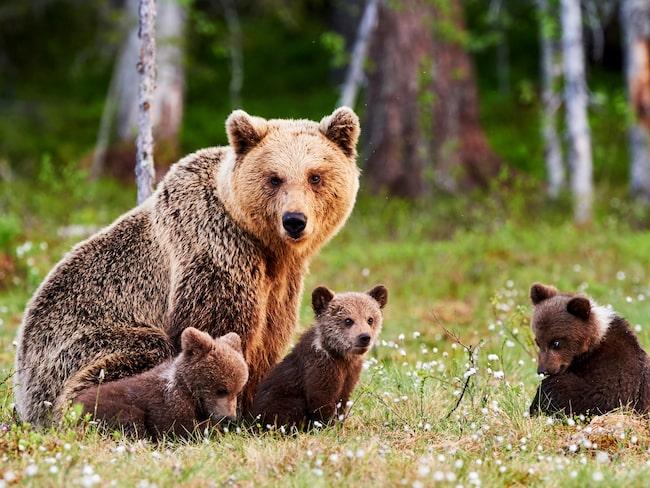 En brunbjörn med ungar någonstans i den finländska skogen.