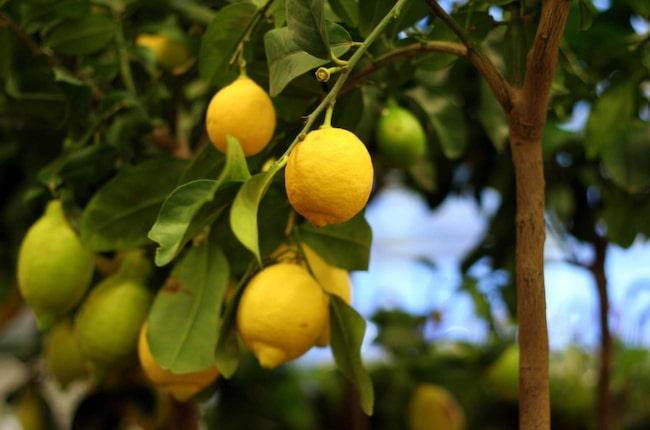 Cypern är känt för sina fina citroner.