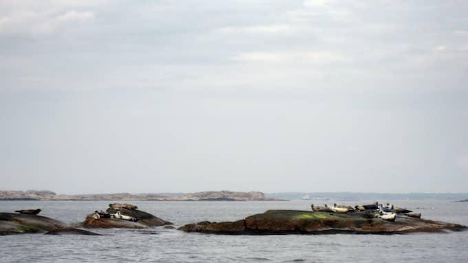 Knubbsälar på klipporna i Kosterhavets nationalpark. Foto: JOHANNA SVENSSON