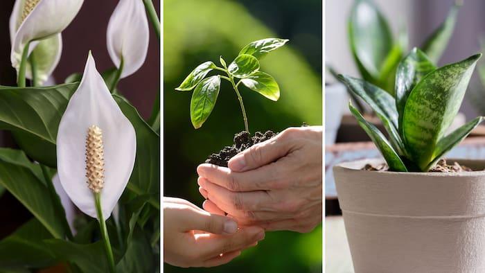 växter som renar luften hemma