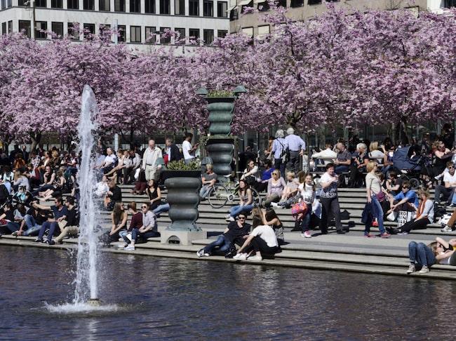 Körsbärsträd i blom i Kungsträdgården i Stockholm.