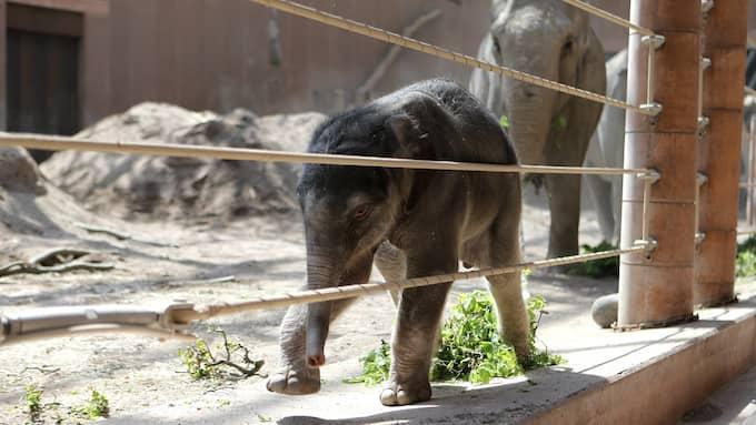 Här busar elefantflockens senaste tillskott runt i sandstallet. I bakgrunden den stolta mamman och en annan hona som hela tiden är i närheten för att hjälpa den lille tillrätta i världen. Foto: Köpenhamn Zoo