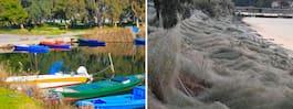 Spindelinvasion – strand på turistö täckt av spindelväv