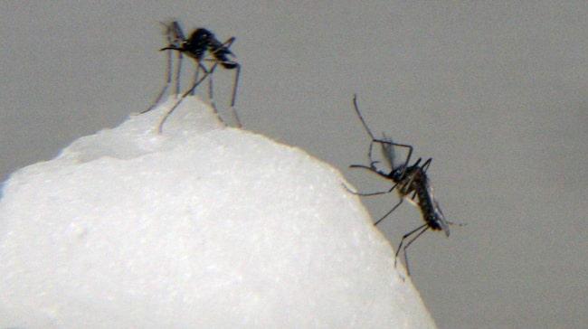 De flesta som får denguefeber i dag får det i Thailand, enligt Folkhälsomyndigheten. Men snart kan myggan som sprider infektionen finnas i Sverige.