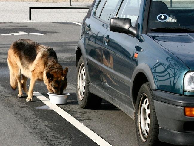 Att lämna sin hund i bilen när solen gassar kan vara olagligt. (OBS! Bilden är från ett annat tillfälle.)
