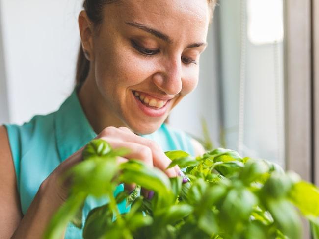 Ont i huvudet? Att tugga basilikablad kan lindra värken.
