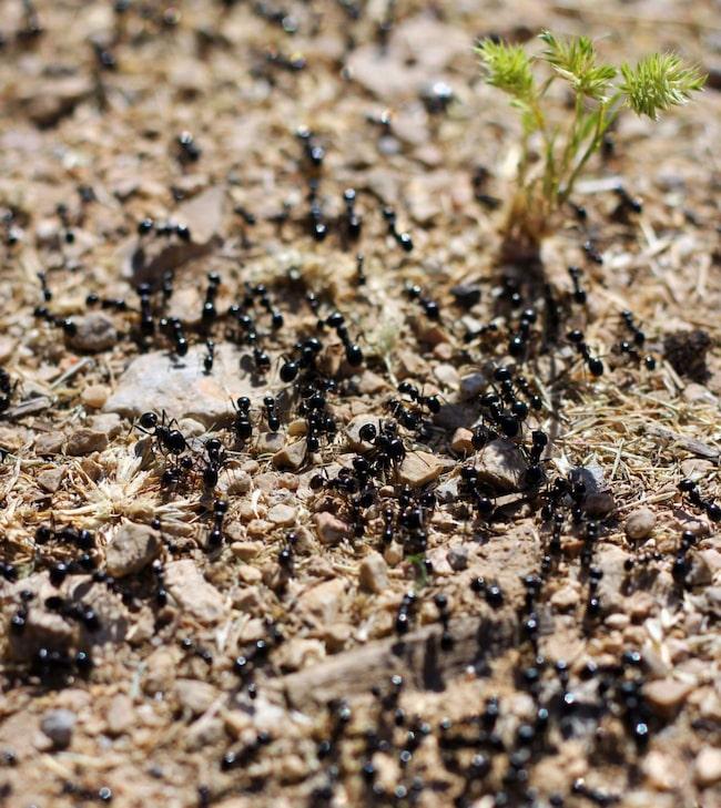 Om du inte får bukt mer myrorna själv bör du kontakta ett saneringsföretag.