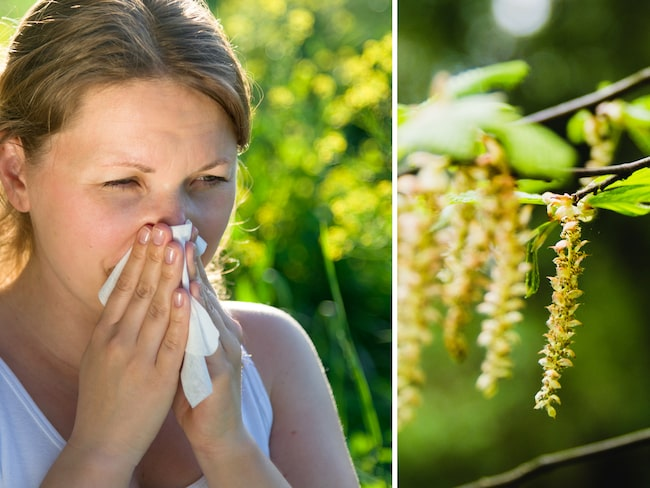 Pollenallergi drabbar omkring 2 miljoner svenskar.