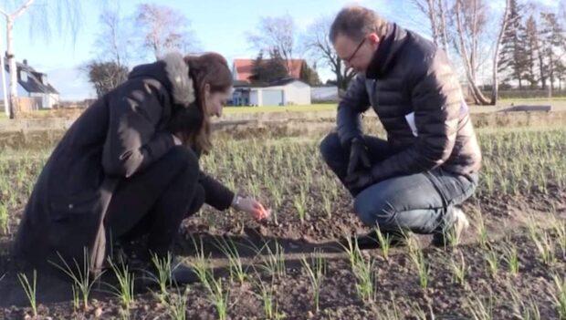 Silvia odlar saffran på tomten i skånska Djurslöv