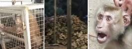 Larmet: Förslavade apor kan göra din kokosmjölk