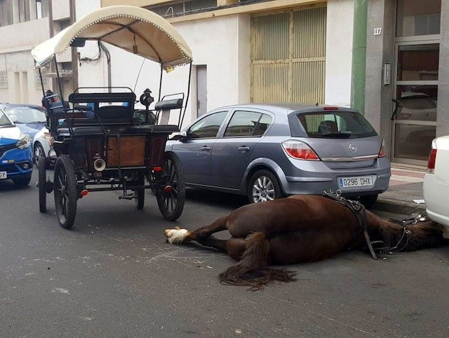 Hästen Tristón föll ihop mitt på gatan i Las Palmas.