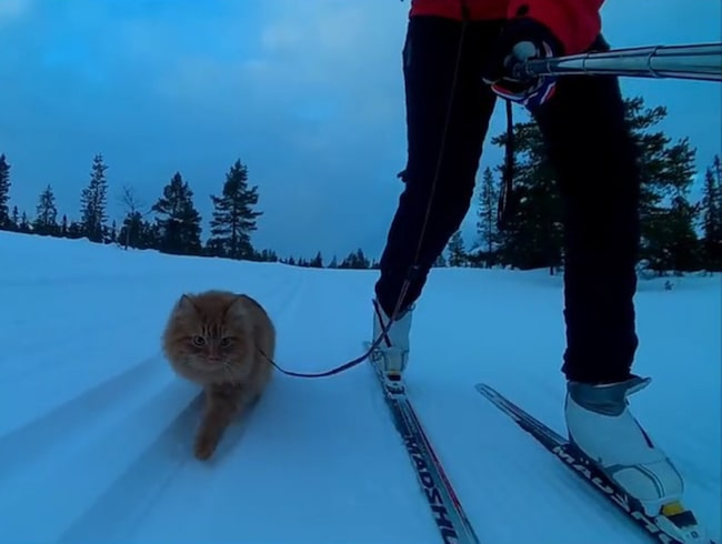 """<span>Norska katten Jesper gillar att åka på skidtur med matte Aina Stormo. Foto: <a target=""""_blank"""" href=""""https://www.youtube.com/channel/UCXgZCZxCkzhOan4YEfLZX8g"""">Youtube</a><br></span>"""