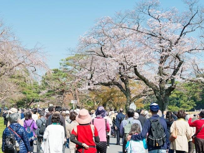 I samband med blomningen öppnas Inui Street, som leder till kejsarpalatset, upp för allmänheten. I år är den öppen till 7 april.