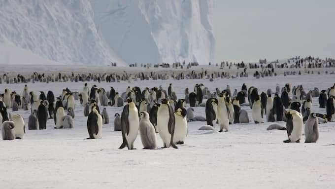 En koloni kejsarpingviner i Antarktis. Foto: BRITISH ANTARCTIC SURVEY / SCANPIX SWEDEN
