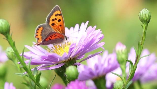 Så lockar du fjärilar till din trädgård
