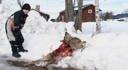 En av invånarna, Viking Bergström, vid det dödade rådjuret. Djuret blev dödat mitt inne i samhället i Lillhärdal i Härjedalen. Foto: Privat